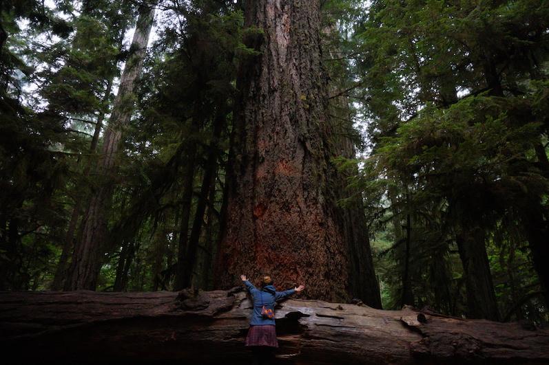 Laura: Der älteste Baum im MacMillan Provincial Park,Cathedral Grove   wat-erleben