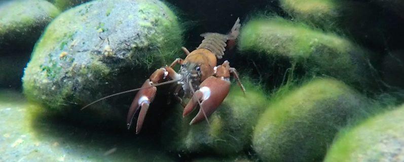 Unser Nachbar Mr. Flusskrebs, Campbell River | wat-erleben