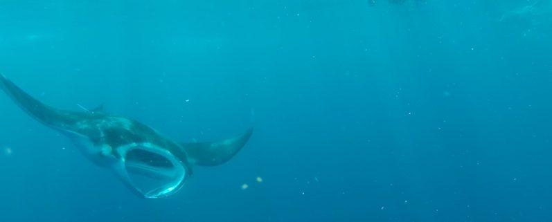Der Mantarochen schwamm genau auf Bernd zu, faszinierend; Isla Mujeres | wat-erleben