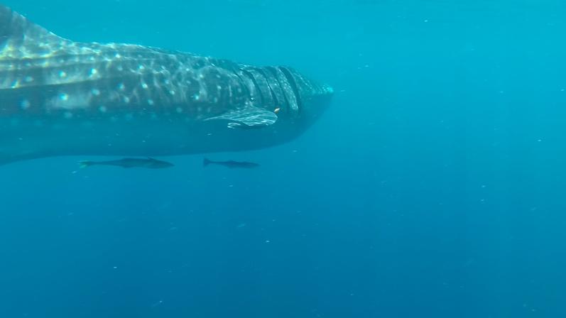 Der Walhai und ein paar kleine Fische im Schlepptau, Isla Mujeres | wat-erleben