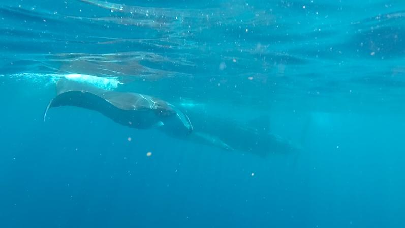 Mantarochen und Walhai, Isla Mujeres | wat-erleben