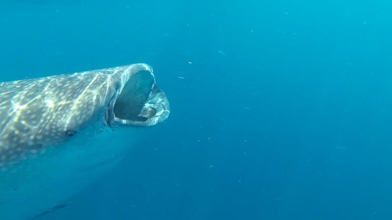 Walhai, Isla Mujeres | wat-erleben