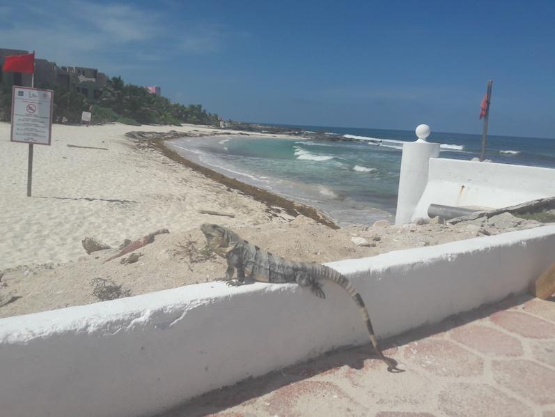 Zufällig einen Leguan beim Sonnetanken entdeckt; Isla Mujeres | wat-erleben