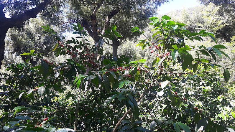 Die Kaffeefarm Finca Filadelfia in Antigua, so sieht die Kaffeepflanze nach drei Jahren aus, Erntezeit fängt im November an | wat-erleben