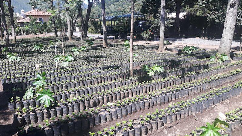 Die Kaffeefarm Finca Filadelfia in Antigua, so sieht die Kaffeepflanze zu Anfang aus | wat-erleben