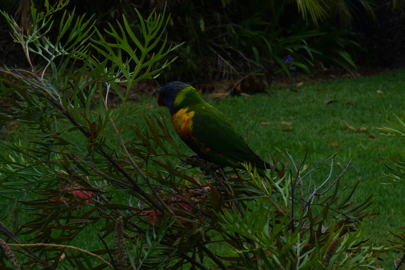 Bunte Vögel auf dem Weg zum Hyams Beach | wat-erleben