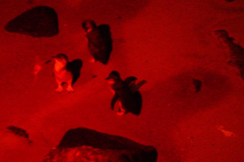 Die Pinguine am St. Kilda Pier, im Rotlicht, da sie vom Blitzlicht blind werden | wat-erleben