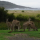 Kängurus am Merry Beach Caravan Park | wat-erleben