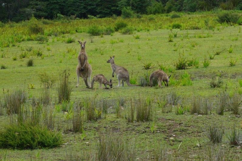 Kängurus in der Nähe vom Merry Beach Caravan Park | wat-erleben
