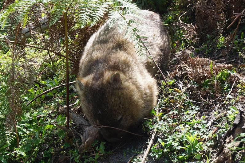 Unser erster Wombat auf dem Weg zum Squeaky Beach, Wilsons Promontory National Park | wat-erleben