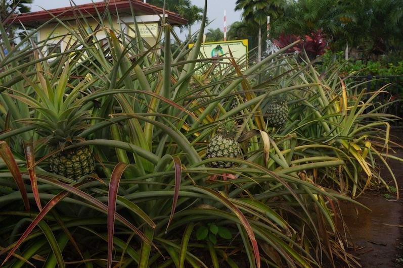 Wie man sie aus dem Supermarktregal kennt; Ananas auf der Dole Plantation, O´ahu | wat-erleben