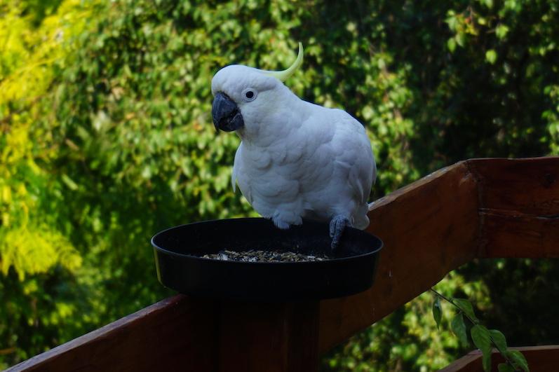 Kakadu auf dem Balkon in Hobart, Tasmanien | wat-erleben