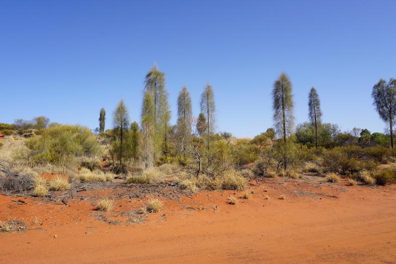 Bei einer geführten Tour durch den Busch erfuhren wir, dass die Bäume erst auseinander gehen, wenn sie auf Wasser stoßen, diese bohren seit 30 Jahren nach Wasser, Uluru | wat-erleben