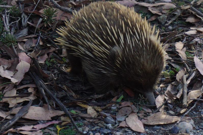 Kollege Ameisenbär ist stets schwer beschäftigt, Cradle Mountain, Tasmanien | wat-erleben