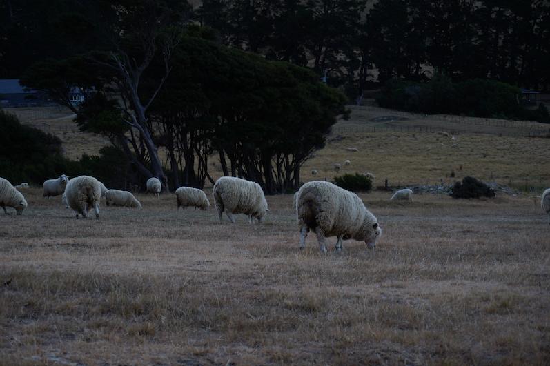 Selbst auf unserem Stellplatz befanden sich Schafe, Titirangi Bay, Neuseeland |wat-erleben