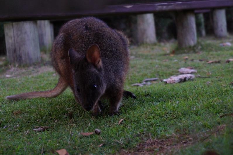 Wir teilen gerne unseren Campingplatz, Narawntapu NP, Tasmanien | wat-erleben