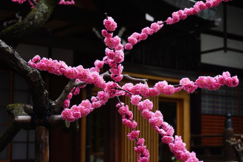 Das ist ein Aprikosenbaum, Kyoto, Japan |wat-erleben