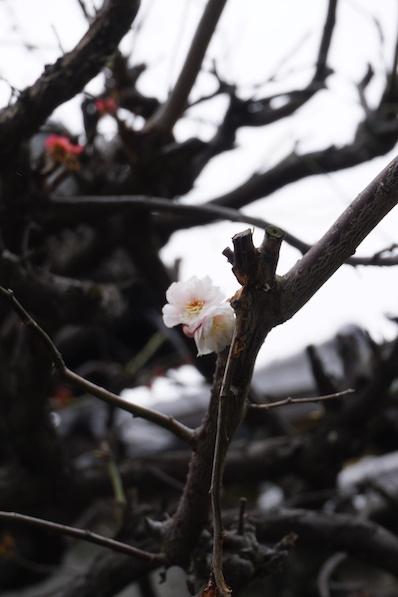 Die erste Kirschblüte, fälschlicherweise handelte es sich in Tokio um Pflaumenbäume, Kyoto, Japan |wat-erleben