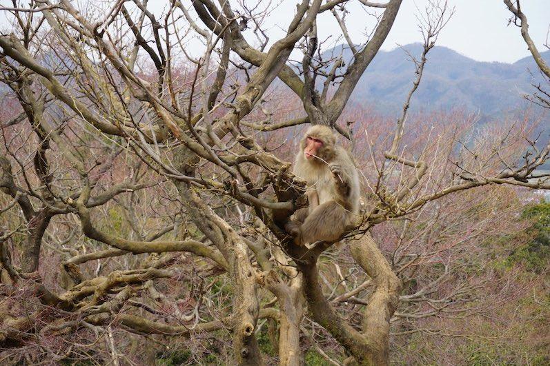 Erinnert mich an ein Gemälde: Affe im Baum, Kyoto, Japan |wat-erleben
