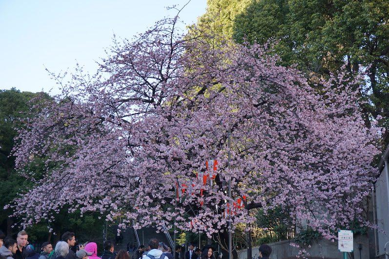 Wir haben den ersten blühenden Kirschbaum gefunden, Ueno-Park, Japan | wat-erleben
