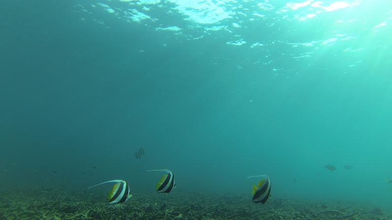 Engelsfische, so schööön, Sai Daeng Beach |wat-erleben