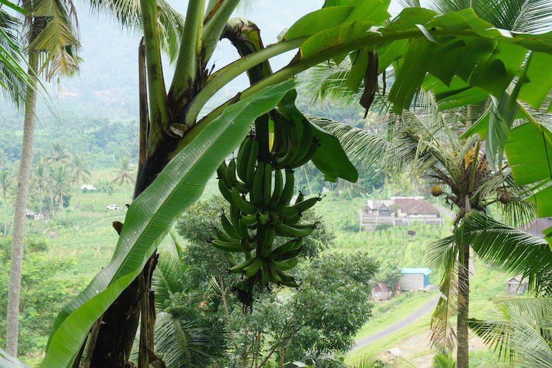 Der Bananen-Baum, Sidemen, Bali | wat-erleben