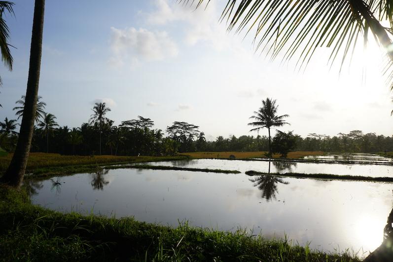 So sehen Reisfelder kurz vorm einpflanzen aus, Ubud, Indonesien |wat-erleben