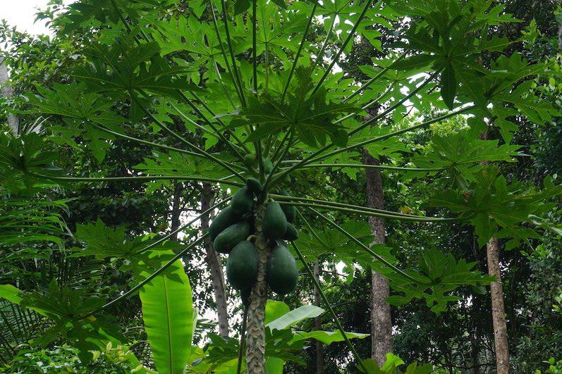 So sieht ein Papaya-Baum aus; die Papayas schmecken hier übrigens einfach nur köstlich; Sidemen, Bali | wat-erleben